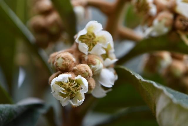 No.724 ビワの花が、ついに_a0095142_11411790.jpg