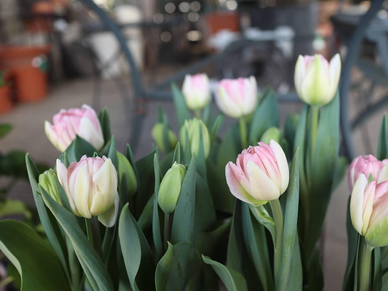 パンジービオラに隠れて、春のお花も沢山入荷しています_b0137969_06344625.jpeg