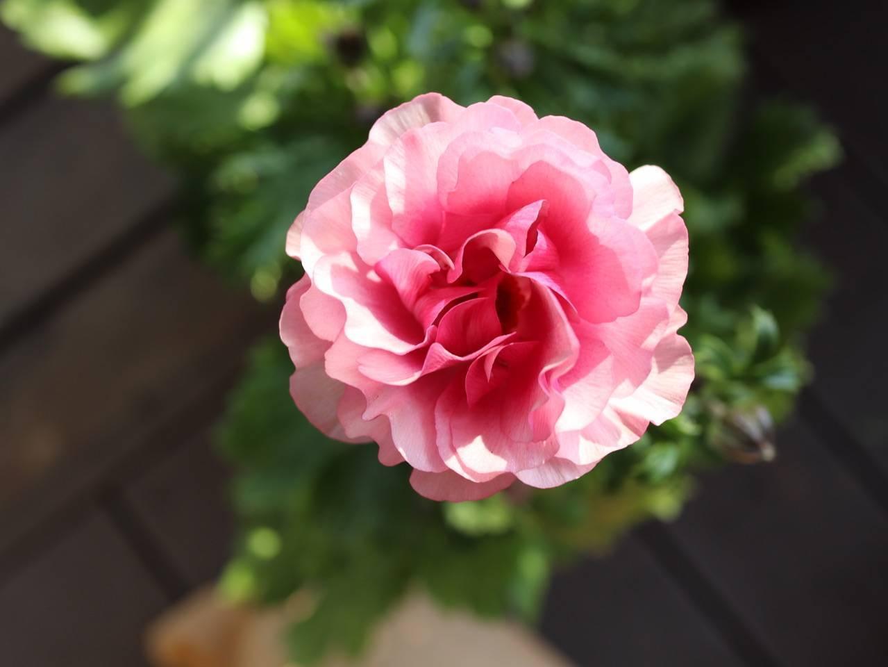 パンジービオラに隠れて、春のお花も沢山入荷しています_b0137969_06350396.jpeg