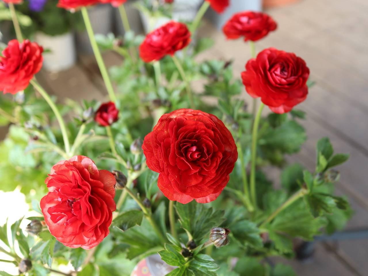 パンジービオラに隠れて、春のお花も沢山入荷しています_b0137969_06371771.jpeg