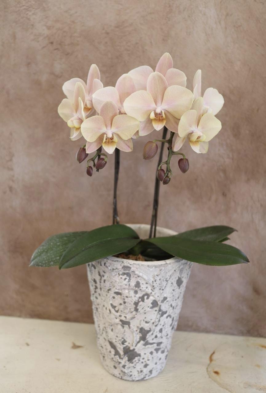 パンジービオラに隠れて、春のお花も沢山入荷しています_b0137969_06401286.jpeg