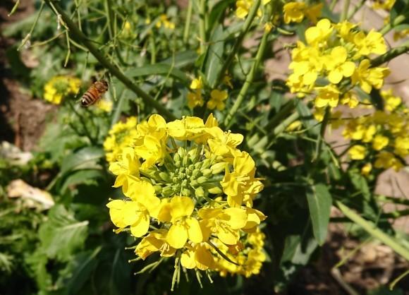 菜の花とミツバチ_b0029182_13372357.jpg