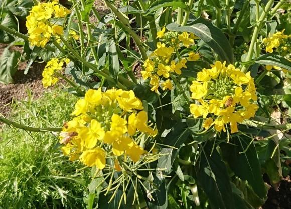 菜の花とミツバチ_b0029182_13380121.jpg