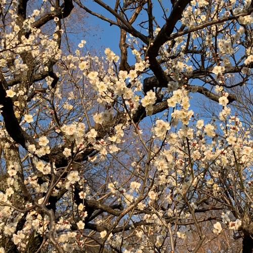 近くの梅林の梅が綺麗に咲き揃いました。_b0105897_17100770.jpg