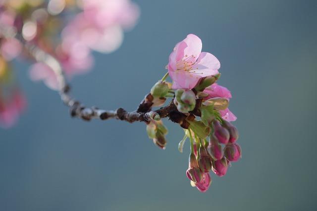 河津桜とペリーロード_f0221724_09445477.jpg