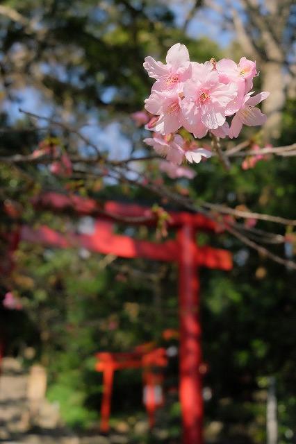河津桜とペリーロード_f0221724_10043426.jpg