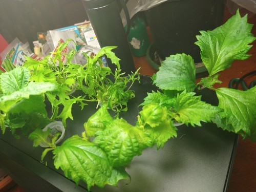 蕗の薹の初収穫と水耕栽培の紫蘇と第一バルコニー風景_a0173527_04473517.jpg