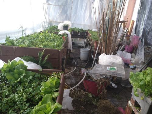 蕗の薹の初収穫と水耕栽培の紫蘇と第一バルコニー風景_a0173527_04482343.jpg