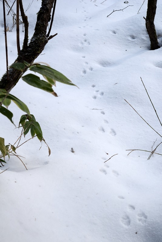 エゾユキウサギの足跡_c0286530_21254568.jpg