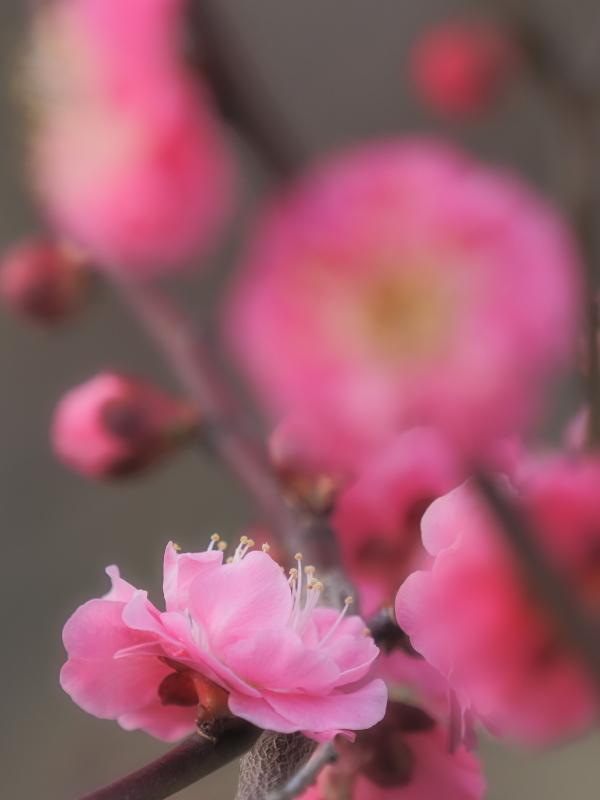 梅3   大阪府_d0286954_05350379.jpg