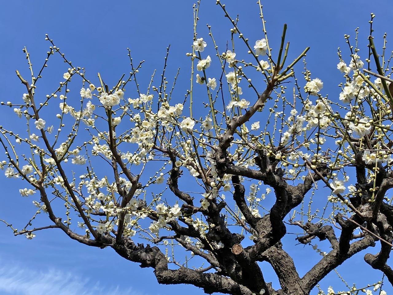 大阪城公園のシロバナタンポポとカンサイタンポポ_c0129047_18274987.jpg