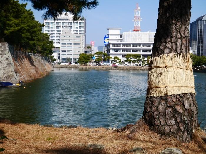 和歌山城の松のこも巻き  2021-02-13 00:00_b0093754_22092184.jpg