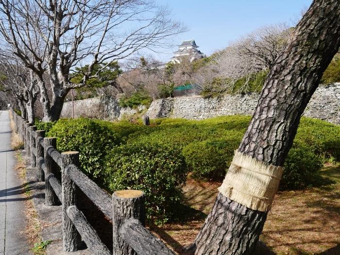 和歌山城の松のこも巻き  2021-02-13 00:00_b0093754_22094106.jpg