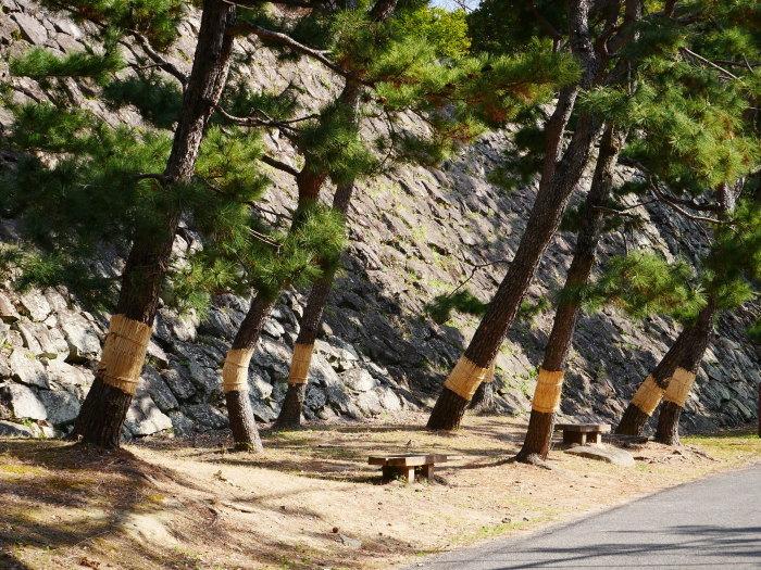 和歌山城の松のこも巻き  2021-02-13 00:00_b0093754_22100723.jpg
