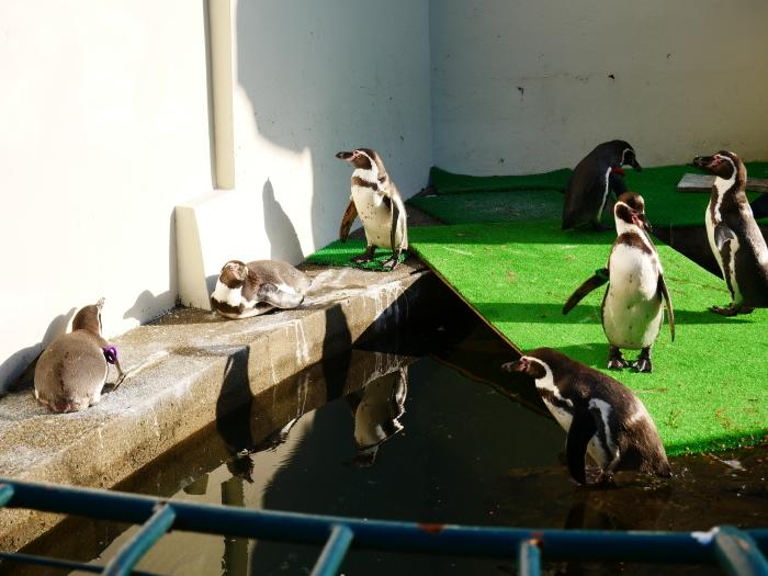 お城の動物園便り  ペンギン舎改造工事  2021-02-15 00:00_b0093754_21132639.jpg
