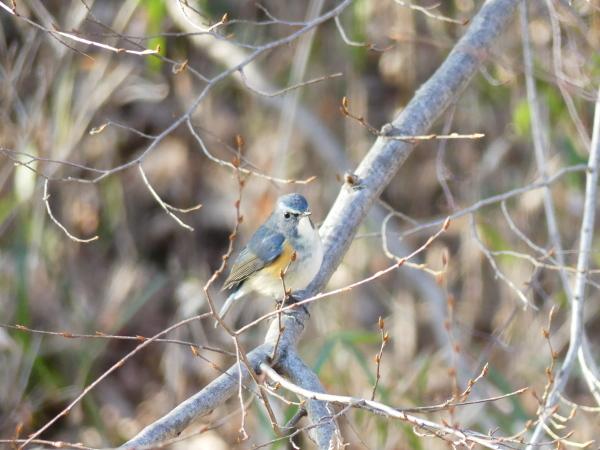 冬の青い鳥_a0351368_23192754.jpg