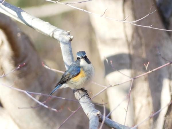 冬の青い鳥_a0351368_23194356.jpg