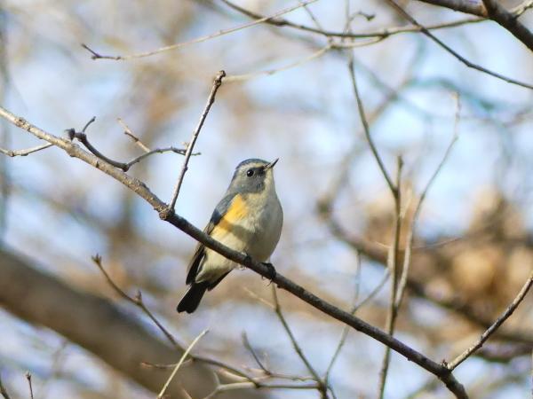 冬の青い鳥_a0351368_23195875.jpg