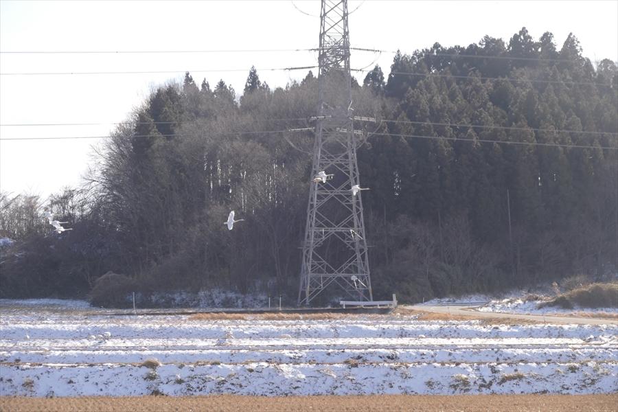 福島市内の白鳥飛来地_d0106628_13583495.jpg