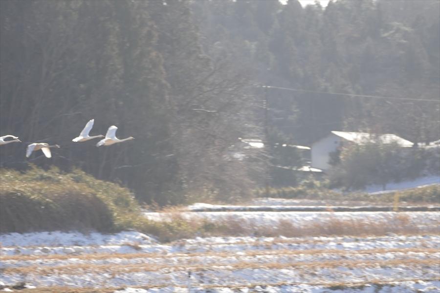 福島市内の白鳥飛来地_d0106628_13584414.jpg