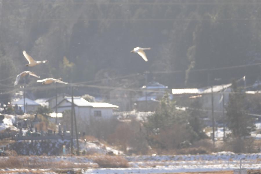 福島市内の白鳥飛来地_d0106628_13585240.jpg