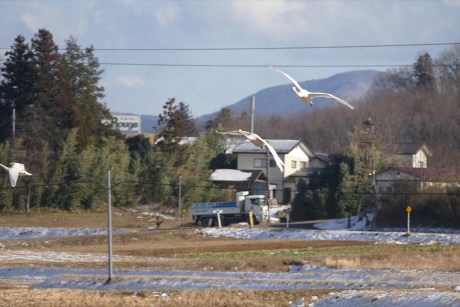 福島市内の白鳥飛来地_d0106628_13590544.jpg