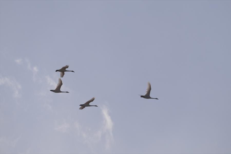 福島市内の白鳥飛来地_d0106628_13591536.jpg