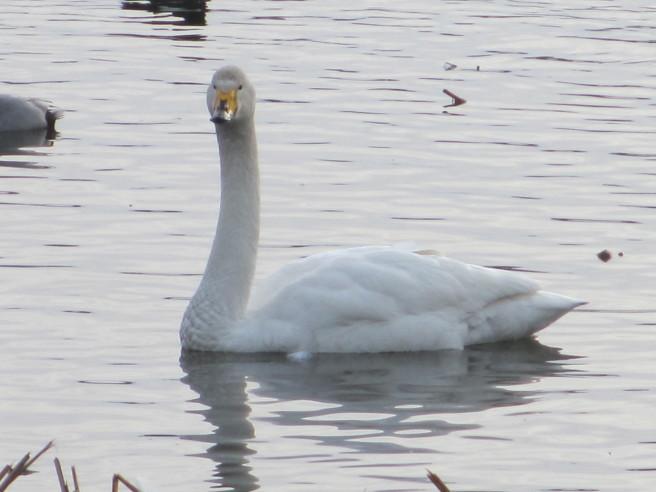 朝活!白鳥を撮る・・続きです_f0364035_12030950.jpg