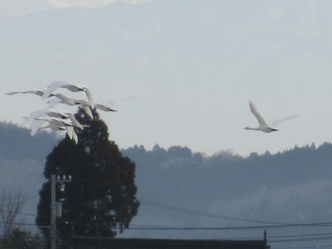 朝活!白鳥を撮る・・続きです_f0364035_12032868.jpg