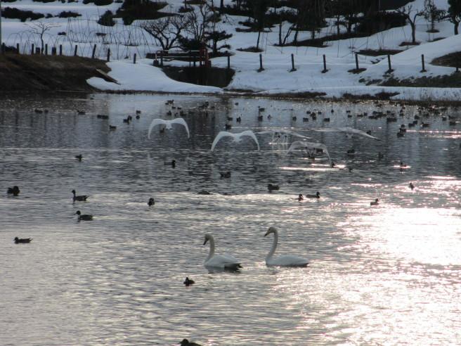 朝活!白鳥を撮る・・続きです_f0364035_12033286.jpg