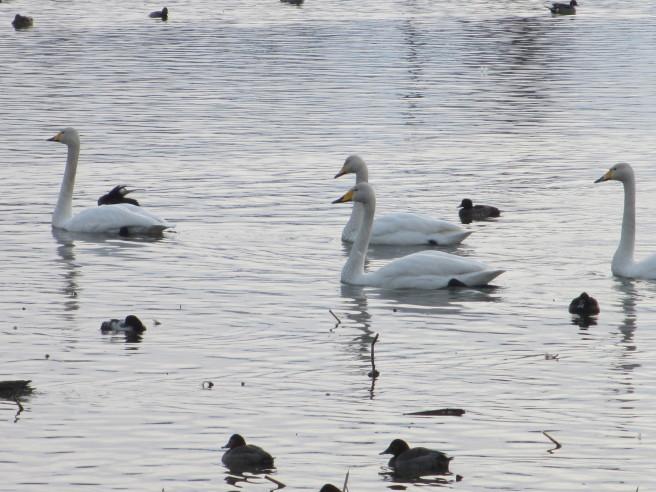 朝活!白鳥を撮る・・続きです_f0364035_12034120.jpg