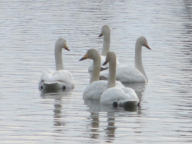 朝活!白鳥を撮る・・続きです_f0364035_19551268.jpg