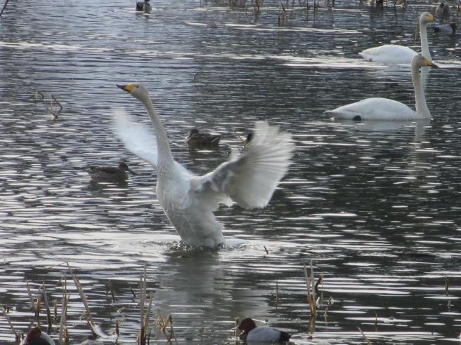 朝活!白鳥を撮る・・続きです_f0364035_20083156.jpg