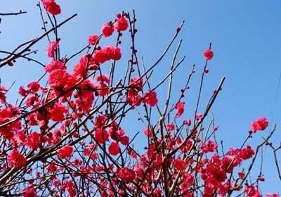 春を告げる梅とメジロの「ウメジロー」が撮れました♪_b0194861_16514628.jpg
