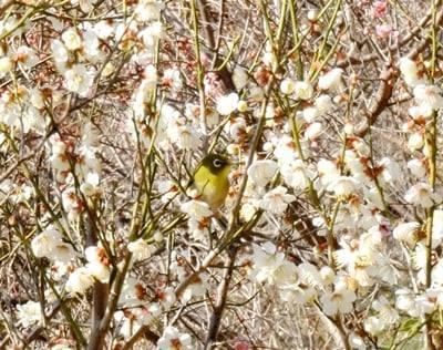 春を告げる梅とメジロの「ウメジロー」が撮れました♪_b0194861_16520182.jpg