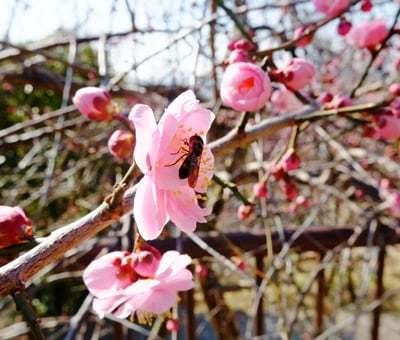 春を告げる梅とメジロの「ウメジロー」が撮れました♪_b0194861_16533345.jpg