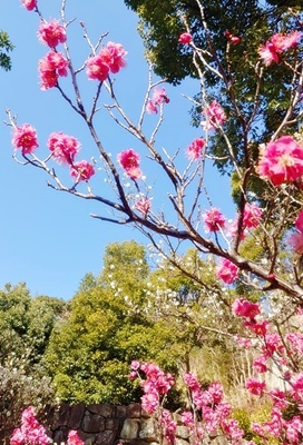 春を告げる梅とメジロの「ウメジロー」が撮れました♪_b0194861_18091172.jpg