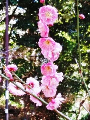 春を告げる梅とメジロの「ウメジロー」が撮れました♪_b0194861_18095048.jpg