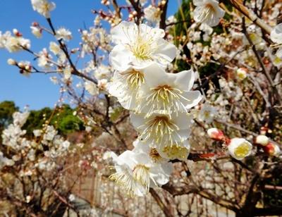 春を告げる梅とメジロの「ウメジロー」が撮れました♪_b0194861_18100338.jpg