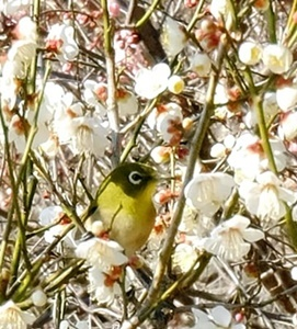 春を告げる梅とメジロの「ウメジロー」が撮れました♪_b0194861_18444363.jpg