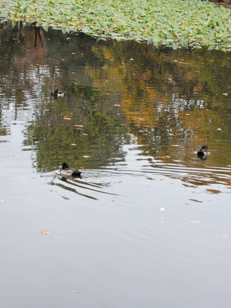 ある風景:Kikuna pond, Yokohama@Dec~Jan #1_d0393923_22291264.jpg