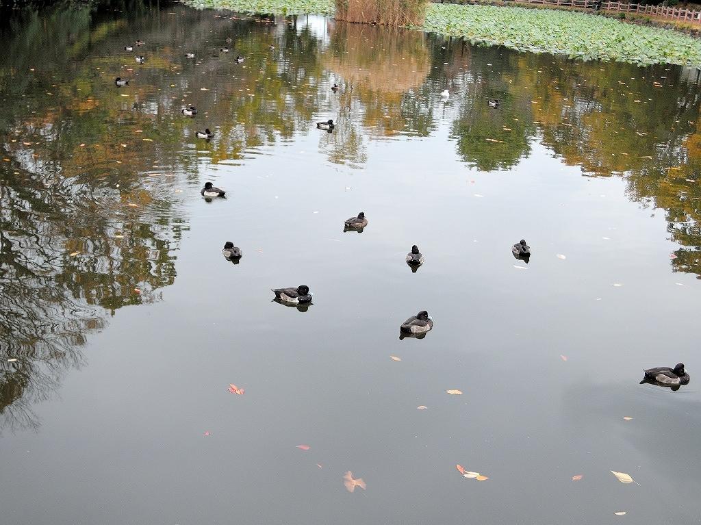 ある風景:Kikuna pond, Yokohama@Dec~Jan #1_d0393923_22292124.jpg