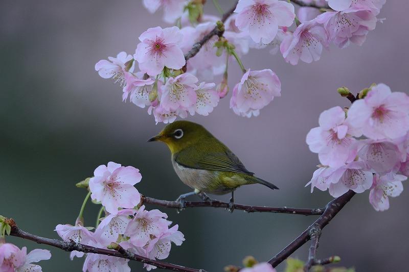 続メジロと大漁桜_a0382054_19593057.jpg