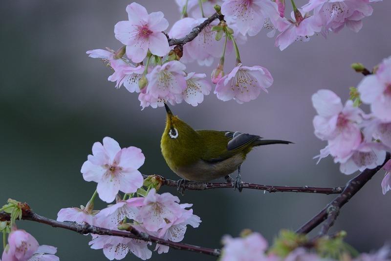 続メジロと大漁桜_a0382054_19594336.jpg