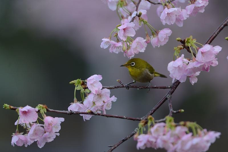 続メジロと大漁桜_a0382054_19595628.jpg