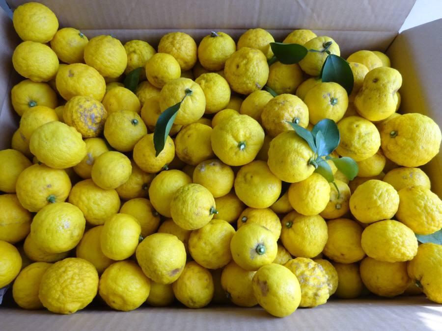 ユズの収穫_f0059673_10332122.jpg