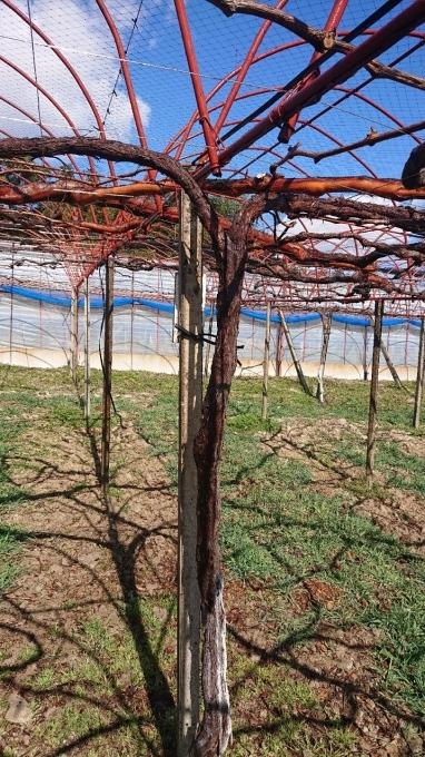 「ぶどう栽培も掃除から」_d0230486_13220748.jpg