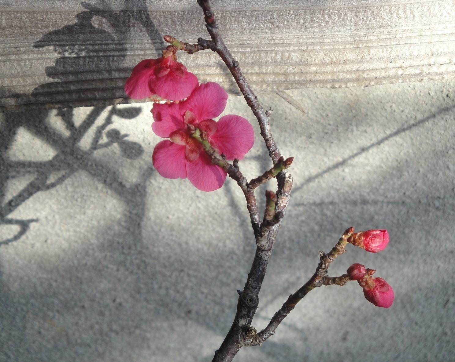 梅二輪 一輪咲いて また寒さ_c0107612_08340287.jpg