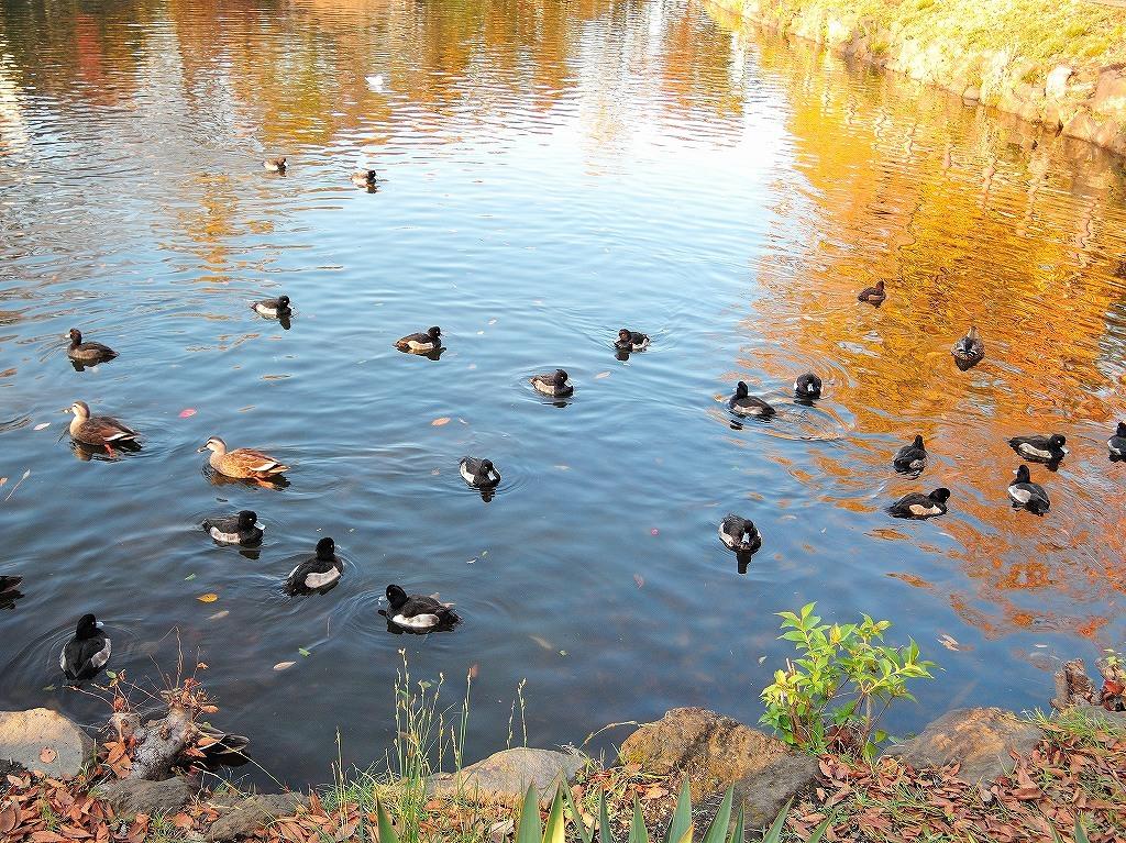 ある風景:Kikuna pond, Yokohama@Dec~Jan #2_d0393923_23455811.jpg