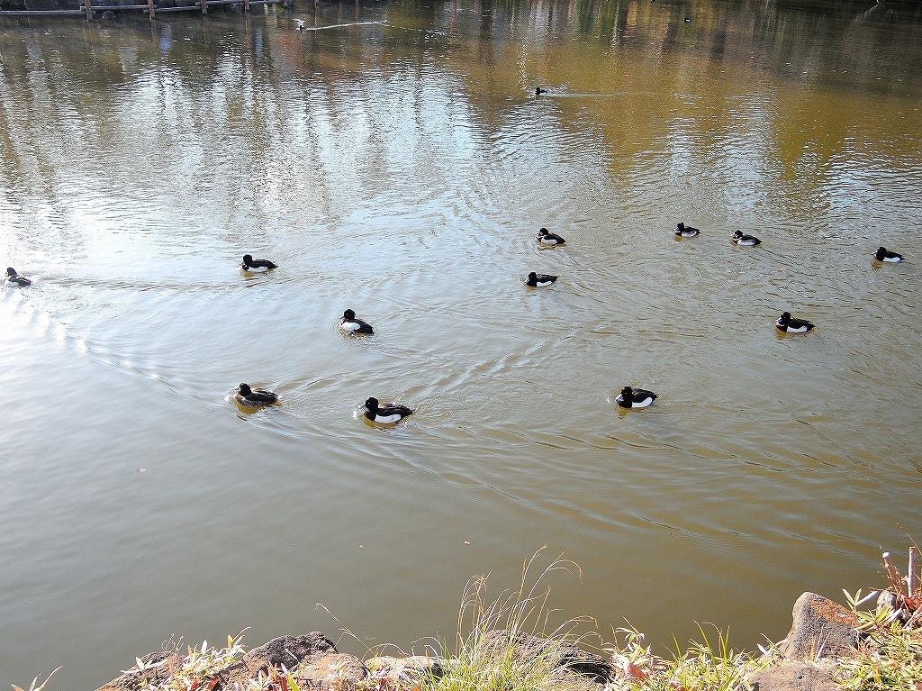 ある風景:Kikuna pond, Yokohama@Dec~Jan #2_d0393923_23460572.jpg